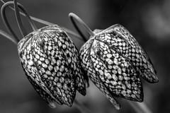 checkered twins (Blende1.8) Tags: fritillariameleagris schachblume schachbrettblume blüte blossom macro makro closeup nahaufnahme blume flower plant pflanzen schachbrettmuster natur nature garden garten sel90g 90mm sony alpha ilce6500 a6500 emount mono monochrome monochrom schwarzweiss black white blackwhite bw texture pattern muster