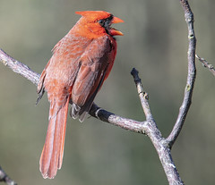 Calling All Cardinals (Yer Photo Xpression) Tags: bird animal 2019 ivyshaw northerncardinal ronmayhew red canoneos6dmarkii coth alittlebeauty coth5