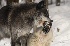 Grey Wolves (stitchersue) Tags: wolves greywolves dominance fighting food captive winter snow haliburton ontario canada