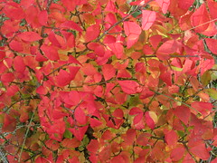 Redness (creed_400) Tags: november fall autumn belmont west michigan leaves red colors burning bush