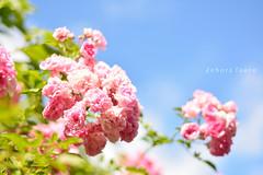 Primavera!!!! Spring (✿ Debora ✿) Tags: primavera spring pink rosas cachoeiradosul flores flower nikond5200 nikkor