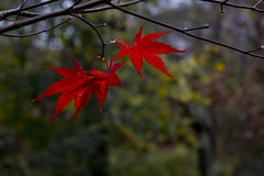 Hanging On (brucetopher) Tags: red maple leaf leaves fall autumn three trio light sunlight glow radiant shine shiny redmaple changeofseason season drop shed falling nature woods woodland forest branch branches pointy 7 seven 3 natural 2dwf aglow lit backlit backlight backlighting