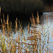 reeds in the morning light