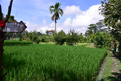 You know your stay will be interesting if your hotel has landscaping like this! (shankar s.) Tags: seasia indonesia java bali islandparadise baliisland touristdestination hotel lodgings accomodation resort entrance blissubudspaandbungalow ubudbali reception garland statue idol hindufaith hindureligion hinduism prayer shrine garden landscaping paddyfield ricepaddies ricefield