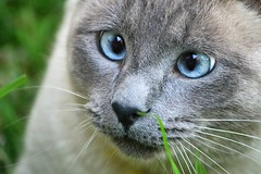 Pixie (Golfo) (En memoria de Zarpazos, mi valiente y mimoso tigre) Tags: cat gato gatto chat kitten siamese siamés blueeyes ojosazules occhiblu squinting crosseyed strabismic estrabismo