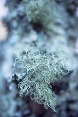 usnea (primemundo) Tags: lichen usnea fruticoselichens fruticoselichen bark oldmansbeard beardlichen ascomycota