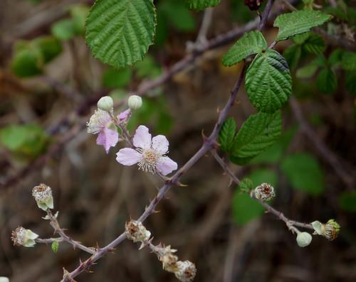 Rubus ulmifolius ssp sanctus (wild blackberry) in bloom, outside Falatados, Tinos (trail #5)
