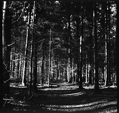 Sunny forest at Christmas time (Rosenthal Photography) Tags: ff120 epsonv800 20181202 6x6 asa400 schwarzweiss ilfordhp5 weltaweltax mittelformat analog ilfordrapidfixer sunny forest christmas landscape december mood blackandwhite winter sun path pathway track welta weltax tessar zeiss czj 75mm f35 ilford hp5 hp5plus lc29 129 epson v800