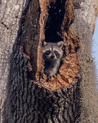Raccoon sits in an opening of a tree on a full stomach (Rickfans76) Tags: raccoon circlebbarreserve polkcounty rickfanslerphotography nikond500 wildlifephotography nature countypark lakelandfl animalia trees climb raccoons critter natgeo nationalgeographic