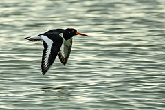 Oyster Catcher (ianbartlett) Tags: 365 outdoor wildlife nature birds flight monochrome sea sand water dogs groynes drone landscape light colour seal
