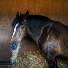 Can't You See I'm Eating (meniscuslens) Tags: horse trust charity rescue pony hay stable bay jenga buckinghamshire aylesbury princes risborough high wycombe
