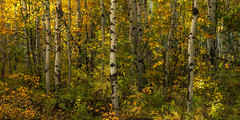 Even More Aspens (Liz Reed Photography) Tags: aspens trees fall autumn ridgway ouray colorado