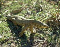 Perentie Monitor Lizard, Warralka Valley, Arnhem Land (Kakadu National Park),  25th June, 1975. (garratt3) Tags: aus australia film arnhemland kodachrome lizard pentax northernterritory nt reptile kakadunationalpark