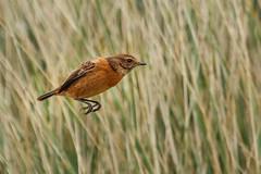 Stonechat (Richard J Hunt) Tags: wildlife nature flight bif birdwatching bird canon700d stonechat formby