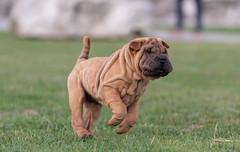 Olly (Nicomonaco73) Tags: sharpei dog dogs puppy love cute beautiful lake lac du bourget savoie nikon d750 nature animal