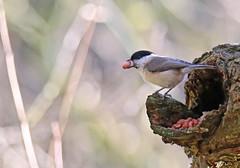 Marsh Tit (Michael R Bird) Tags: willow marsh tit tits bird lake wood park food nuts seeds ruffordcountrypark nottingham nottinghamshire canon 6d g2sp tamron 150600mm