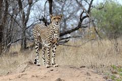 Cheetah (Acinonyx jubatus) (Ardeola) Tags: cheetah acinonyxjubatus cat gepard mammal krugernationalpark kruger wildlife