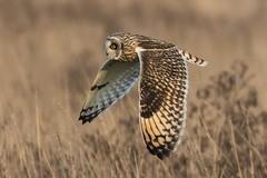 short eared owl (3) (colin 1957) Tags: shortearedowl owl birdsofprey