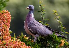 "Pigeon & Pick of the Crop (annjbee ""Birdie Lover"") Tags: pigeons birds nature gardenbirds berrybushes wildlife birdwatcher soe"