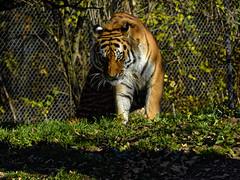 Tiger-Auge (Helmut Reichelt) Tags: tigeraugetigerauge tiger november herbst münchen zoo tierpark hellabrunn oberbayern bavaria deutschland germany panasonic lumix fz200 captureone11 dxophotolab