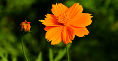 Pretty Orange Cosmos!! (SHAN DUTTA) Tags: cosmos orange nikon d5300 nikond5300 nikkor garden 2018 flower dof bokeh