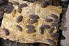 Armadillidium werneri (Awavi) Tags: isopod armadillidium ダンゴムシ pillbug