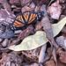 Dormant Monarch Awakes (1 of 3)