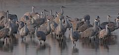 Sandhill Cranes at First Light (Ron Wolf) Tags: antigonecanadensis bosquedelapachenwr gruidae gruiformes gruscanadensis sandhillcrane bird nature wildlife newmexico