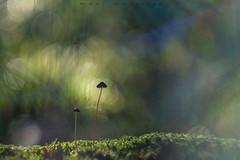 El hilo que nos une (www.studio360fotografia.es) Tags: helios442 setas valdeinfierno bokeh desenfoque hilo mushroom colors colores green verde musgo olympus omd em10 helios 58mm f2 442 fantasy fantasia naturaleza nature