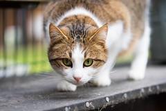 Fokussiert (Jana`s pics) Tags: fokus focused fokussiert katze cat hauskatze haustier pet animal tier gato chat tierfotografie jagen jagdtrieb hunting raubtier