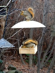 New Year's Day squirrels (2019) (EcoSnake) Tags: squirrels easternfoxsquirrel squirrelproof eating winter newyearsday january idahofishandgame naturecenter