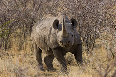 Rino (Jhaví) Tags: rinocerontenegro namibia africa animal wild wildlife nature naturaleza travel trip viajar