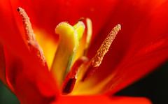 For All Who Miss Some Sunshine (AnyMotion) Tags: tulpe tulip tulipa blossom blüte petals blütenblätter stamen staubgefäss pistil stempel 2018 floral flowers blumen plants pflanzen anymotion frankfurt garden garten spring frühling primavera printemps natur nature colours colors farben red rot yellow gelb 6d canoneos6d macro makro makroaufnahmen ngc