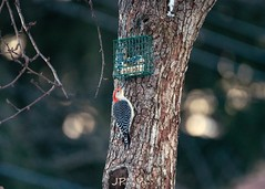 Evening snack before bed (jp254958) Tags: bokeh tree trees green feeder birding birds bird colorful color red wildlife wild nature feeding woodpecker redbellied