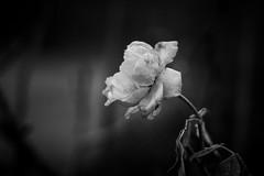 A Last Rose Of 2018 (wowafo) Tags: rose blume natur nature flower winter december dezember blackwhite monochrome sony alpha 6000