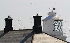 House Martins _Durlston CP Dorset -030918 (11) (Ann Collier Wildlife & General Photographer) Tags: housemartins durlstoncountrypark dorset dorsetwildlife birds durlstoncpdorset uk