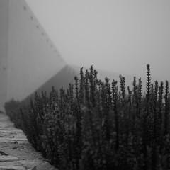Rosmarine (Til..) Tags: rosmarine nebel blackwhite bw abstrakt abstract pflanze fog nikon d7100 nikond7100 35mm