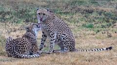 001_Cheetahs.jpg (Howard Sumner) Tags: phoenixzoo cheetah arizona bigcat phoenix zoo animal