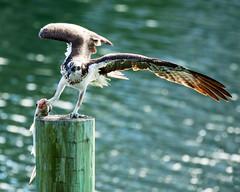 Osprey & Ladyfish (dbadair) Tags: outdoor seaside shore sea sky water nature wildlife 7dm2 ocean canon florida bird