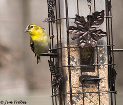 American Goldfinch Male winter at feeder (jimtrebes1) Tags: nature bird american goldfinch backyard canon 6ti