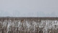 Where is Waldo?! (gabormatesz) Tags: wildlife winter wintermadness canon 70200mm rabbit animal animals hare nature naturephotography snow snowfield