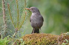 Merlo _017 (Rolando CRINITI) Tags: merlo uccelli uccello birds ornitologia avifauna montebaldo natura