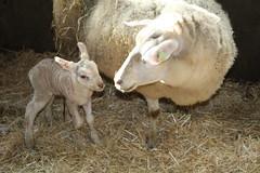 oh  My  Baby  Born  7-2-1019 (excellentzebu1050) Tags: newlife newborn birth lamb sheep livestock farm straw animal animals coth coth5 sunrays5
