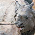 Young rhino licking mom thumbnail