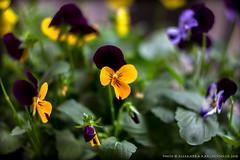 07.11.2018 (a-kappa) Tags: fiori helios442582 macro