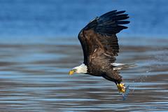 FishingTwoPrint (Rich Mayer Photography) Tags: eagle eagles bird birds animal animals nature wild life wildlife water lake river stream fly flying flight avian nikon