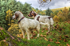 Watching and Waiting (Missy Jussy) Tags: rupert rupertbear razz roxbergrazzle springerspaniel spaniel englishspringer dogs pets mansbestfriend malespringerspaniel autumn valley piethornevalley trees clouds sky leaves grass field tree outdoor outside countryside animals rochdale dogwalk canon600d canoneos600d 1855mm canon1855mm canon littledoglaughedstories