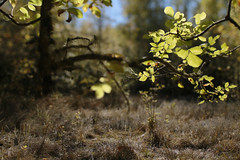 Oaks Bottom (Tony Pulokas) Tags: blur tree oaksbottom portland oregon oaksbottomwildlifepreserve tilt bokeh autumn fall ash oregonash fraxinus leaf
