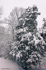 First Snow (gabi-h) Tags: firstsnow winterwonderland gabih snow winter trees princeedwardcounty viewfromwindow white green november snowfall cedartree backyard