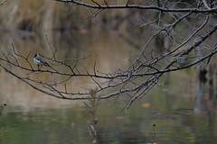 DSCF6600 (jojotaikoyaro) Tags: bird animal nature wildlife suginami tokyo japan fujifilm xh1 xf100400mm